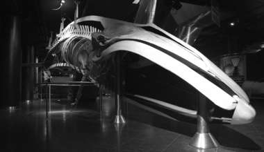 The fin whale preserved at Oltremare, Riccione's marine theme park. 'Museologia Scientifica Memorie'